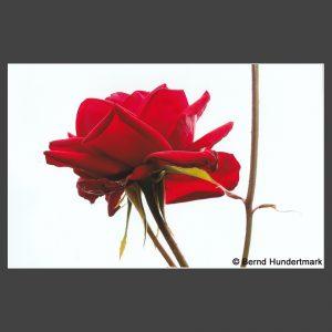 Platz 3 Hundertmark, Bernd - Rose auf weiß