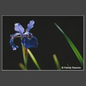 Platz 2 Riancho, Patrick - Sibirische Schwertlilie