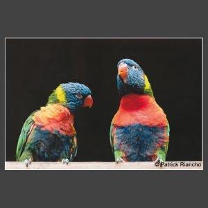 Platz 2 Riancho, Patrick - Papageien im Gespräch