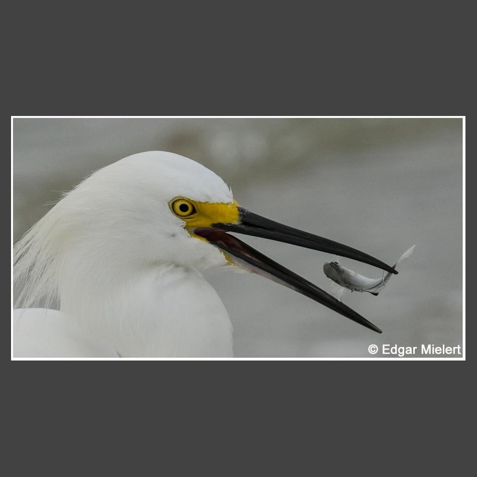 Platz 1 Mielert, Edgar - snowy egret