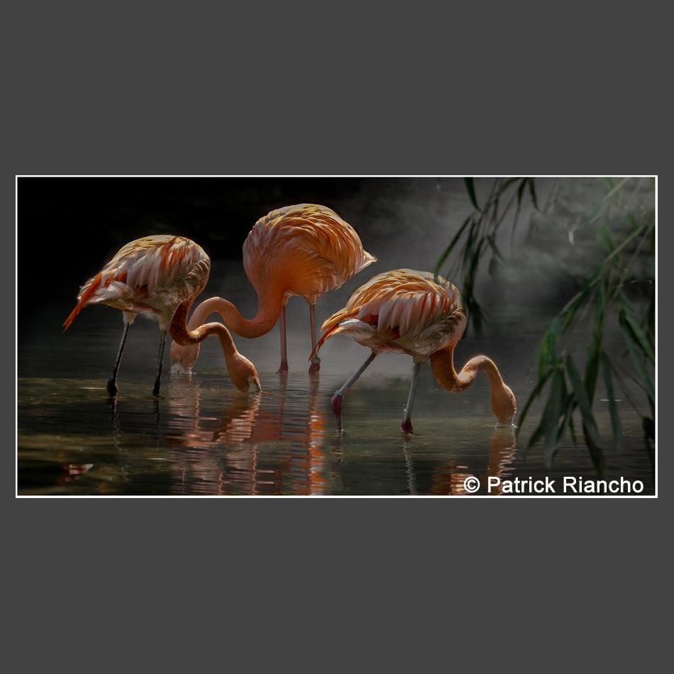 Platz 1 Riancho, Patrick - Flamingos